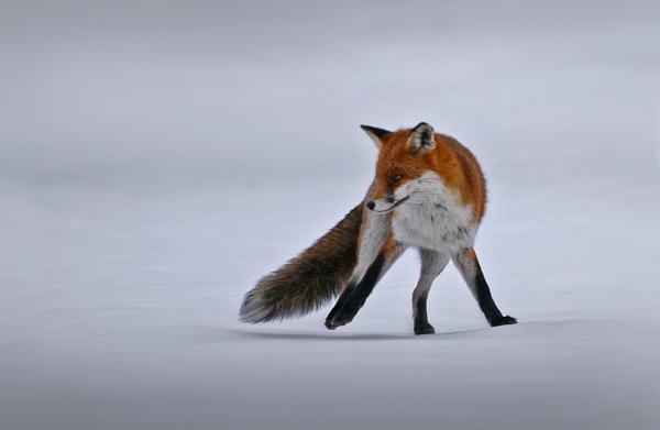 Fox Trot 2 by SurreyHillsMan