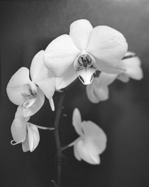 Study of an Orchid by banana_legs