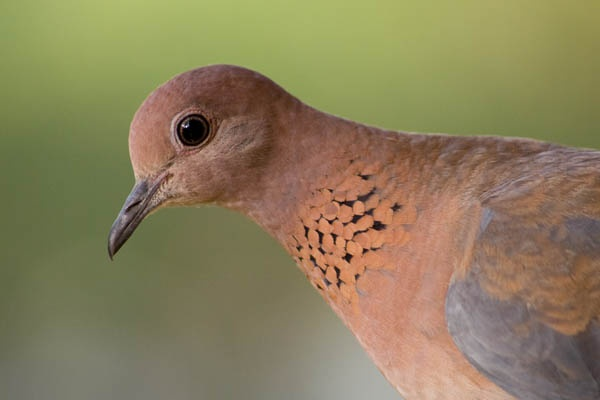 Laughing Dove by Coast