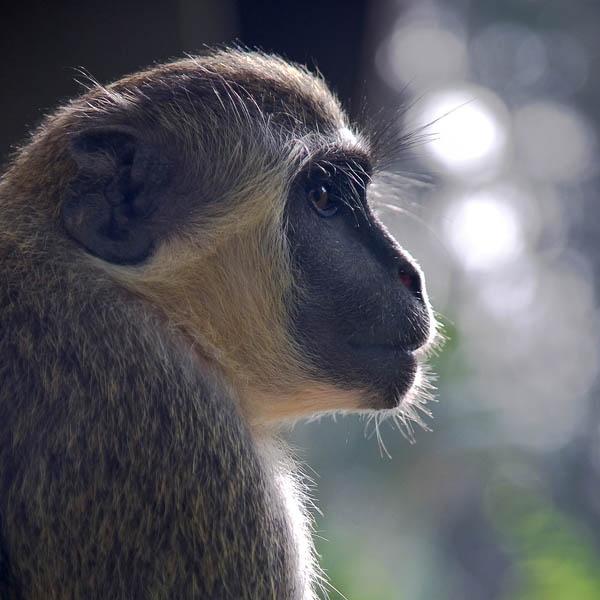 Vervet Monkey by Coast