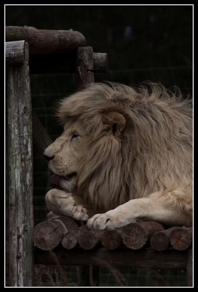 White Lion by challicew