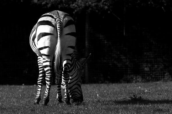 Zebra by anpix