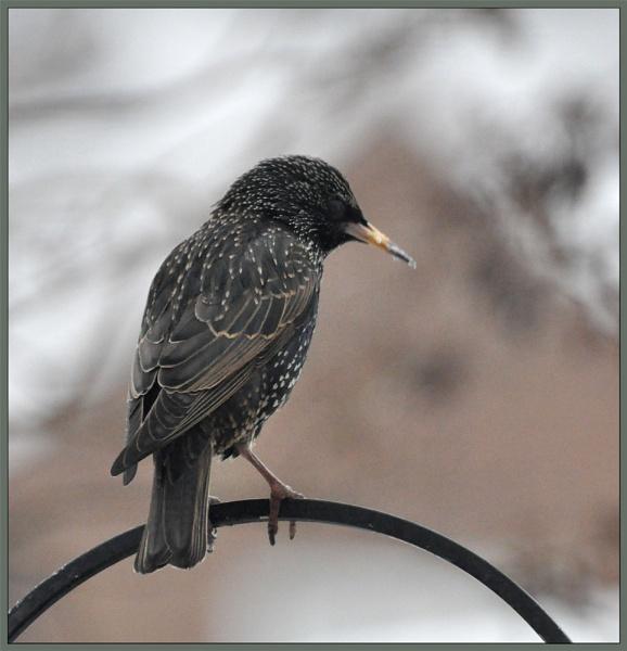 starling by ducatifogarty