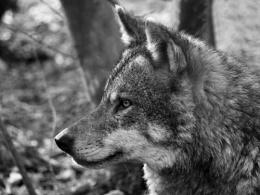 Mono wolf