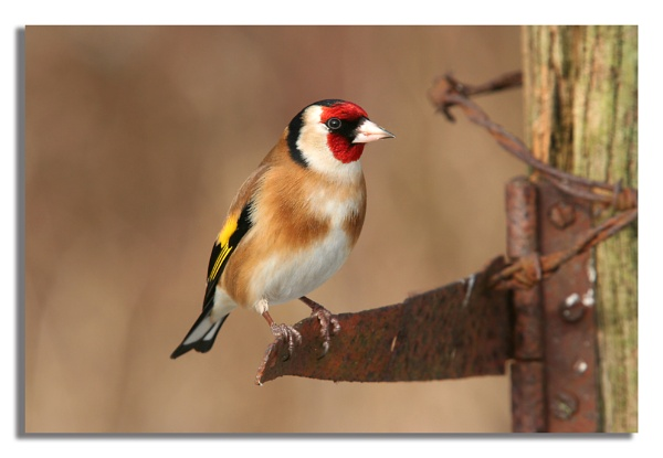 gold finch by ayliffe