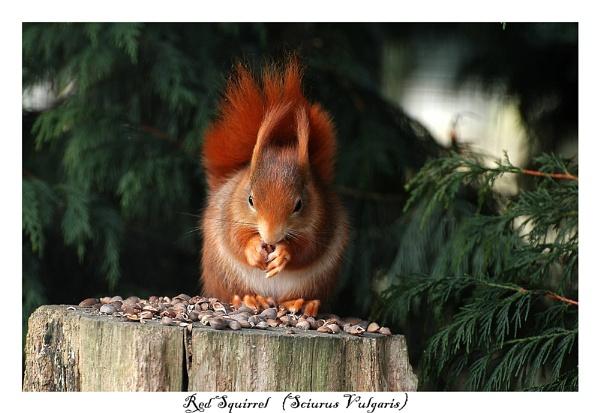 Red Squirrel (Sciurus vulgaris) by BERTRAM