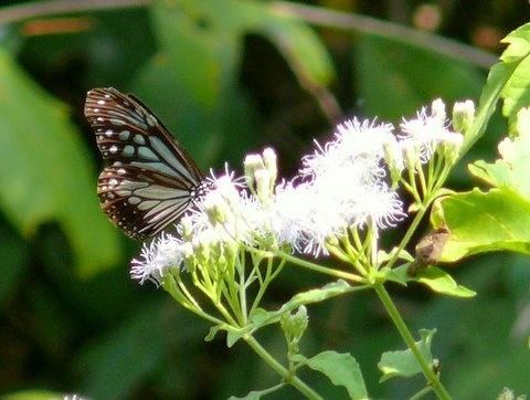 Butterfly by Tigress