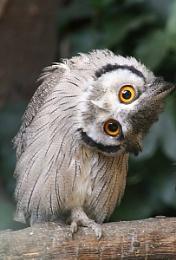 owl my neck