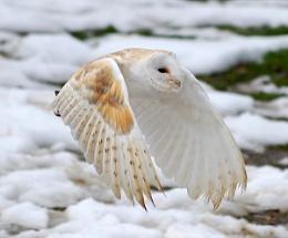 Barn Owl.....