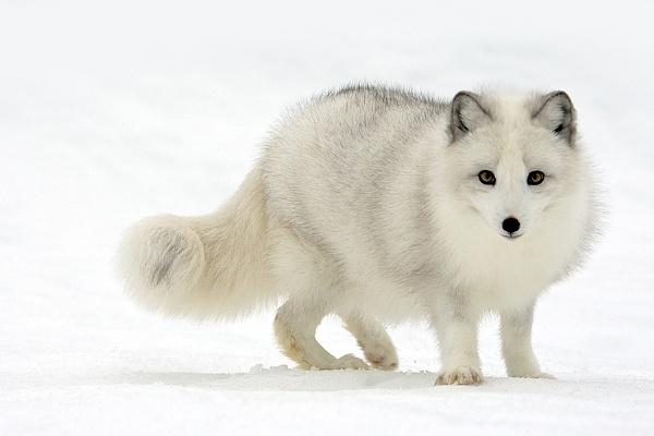 Arctic Fox by stephenoachs