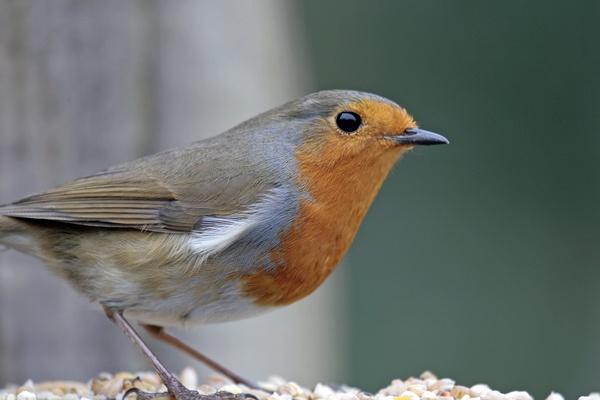 Robin by Geofferz