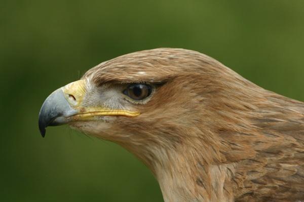 Golden Eagle by SteveMoulding