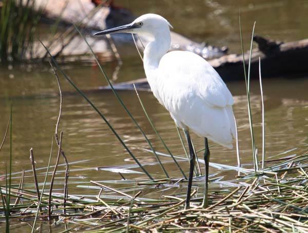 Small Egret by RRT
