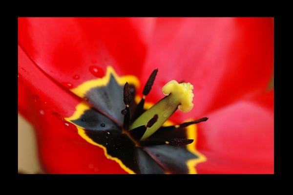 Inside a Tulip by jaysphotography