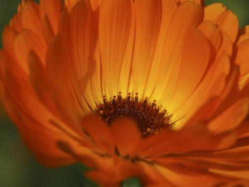 Orange Calendula by Stuart_Townsend