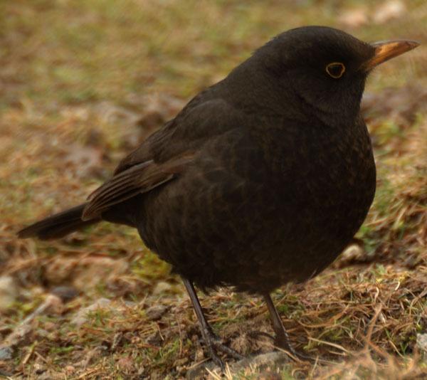 Blackbird by Emmog