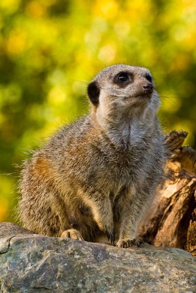 Meerkat by Gertmint