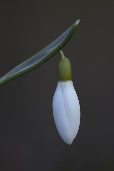 Snowdrop Closeup by dannyg