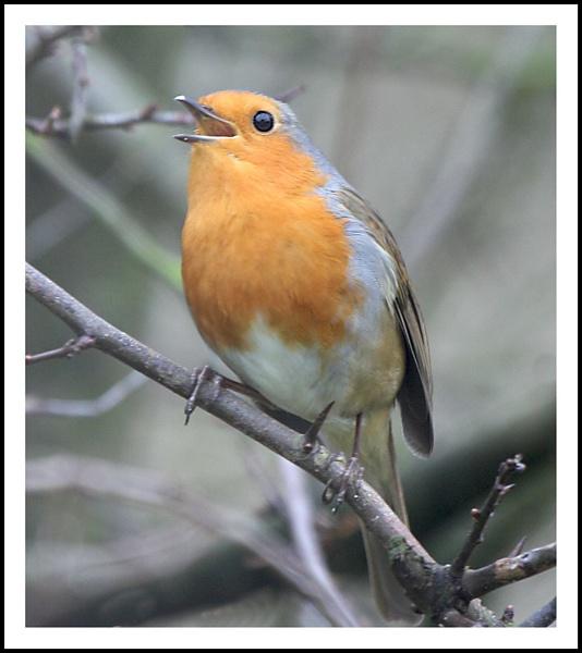 Singing  Robin by helengib