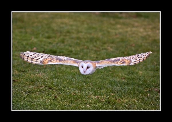 Barn Owl by Pegon