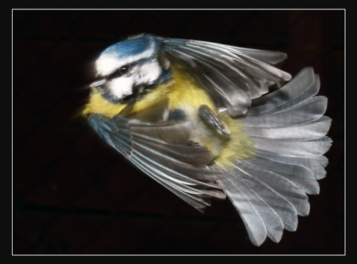 blue tit by Dorothea