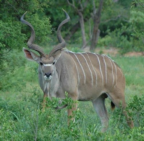 Male Kudu by GT_Steel