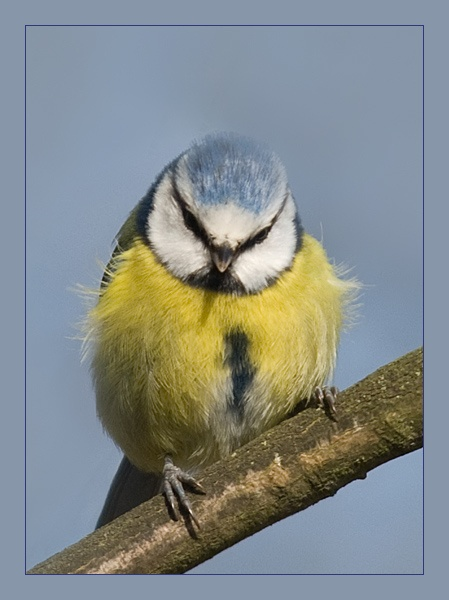 Blue Tit by M0TFT