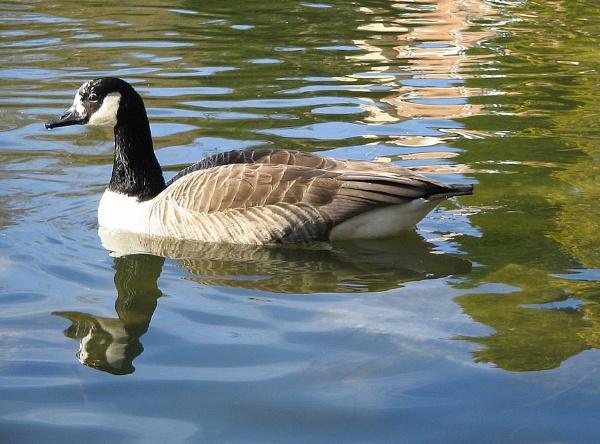 Canada Goose by Glostopcat