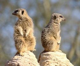Meerkats at Whipsnade