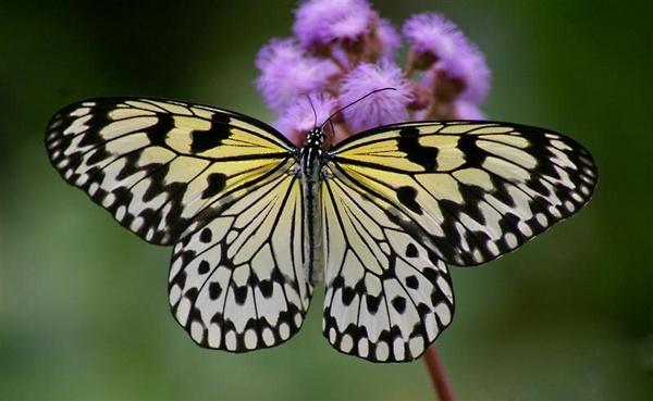 Elusive Butterfly by Cabit