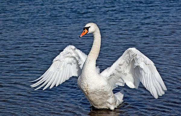 Swan Luck by gary_d