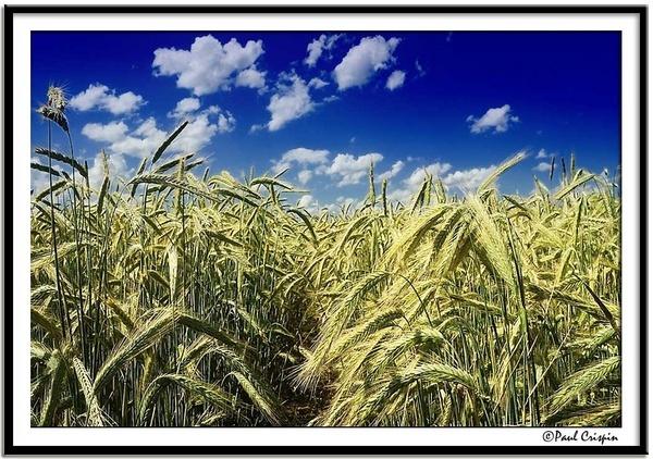 Wheat field by ducatirider