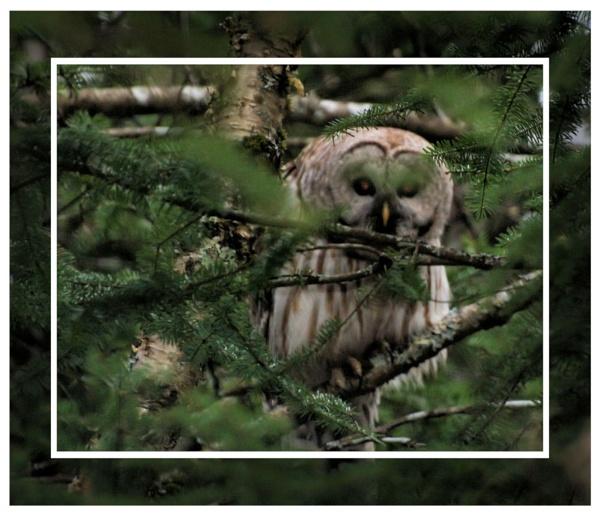 owl by bearmtn