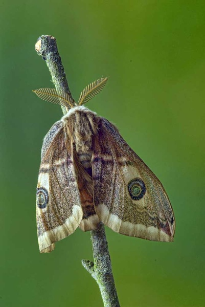 Emperor Moth expanding and drying its wings after hatching (Saturnia pavonia) no 2 by fishing