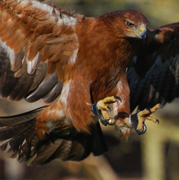 Tawny Eagle by anpix