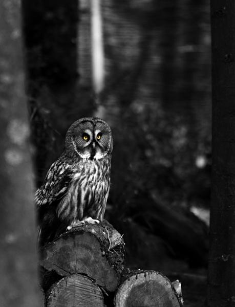 Great Grey Owl by anpix