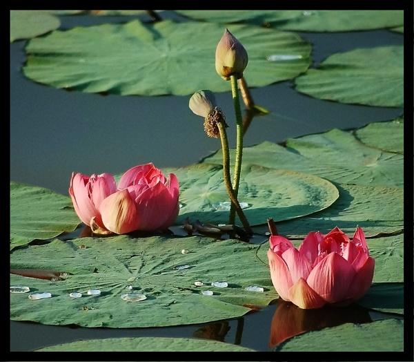 Waterlilies & Pond Herons in India by mrsvee