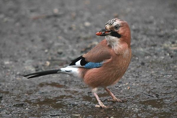 Nutty jay by shamo