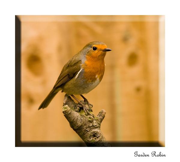 Garden Robin by SoulOfNature