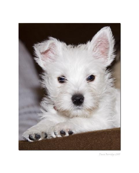 Westie Pup by VidB