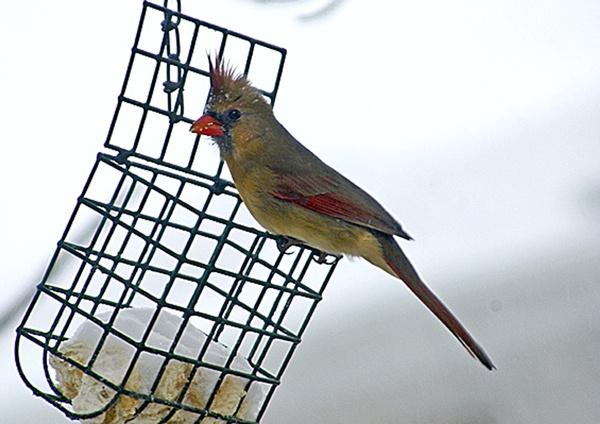 female cardinal by margo