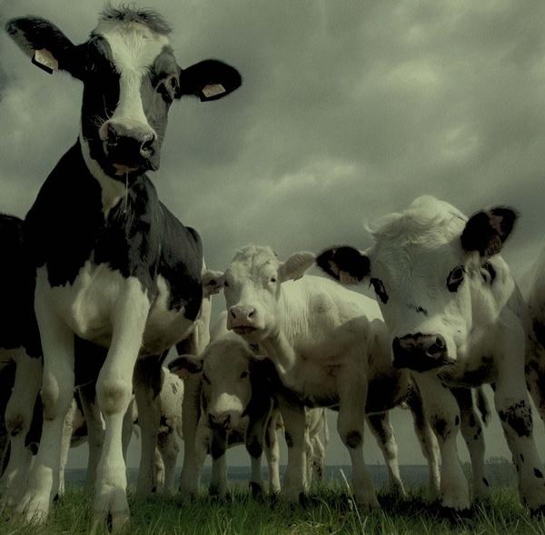 Cow-Girls by rhobbie