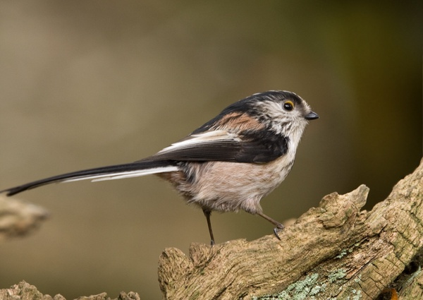 Long Tailed Tit by Lorraine_Wallace