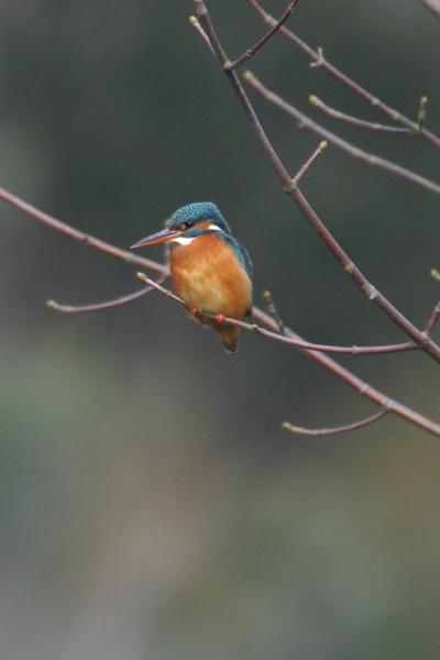 Kingfisher by SteveMoulding