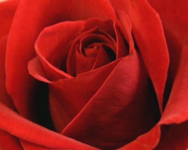 Rose petals by spug1850