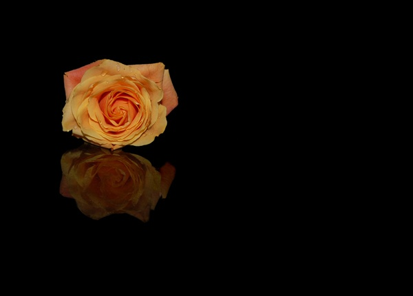 Reflected Rose by KP