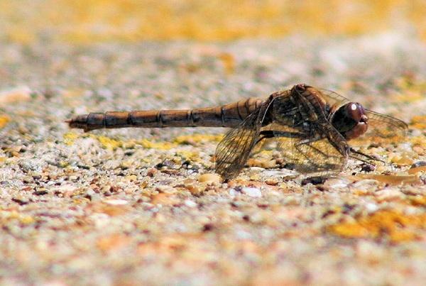 Dragonfly by grim