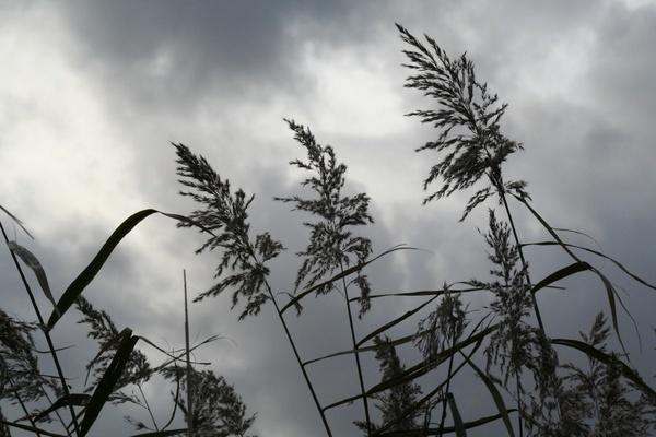 Reeds by grim