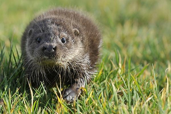 otter for shona by digitalpic