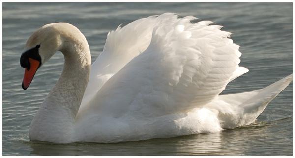 Swan Light by grumpalot